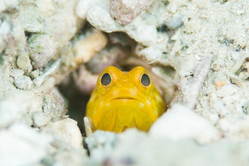 黄色いジョーフィッシュ