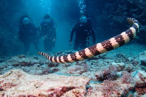 イイジマウミヘビ