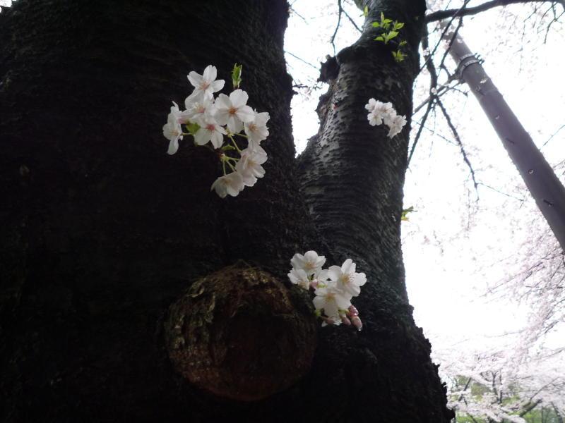 20170409-3-桜3