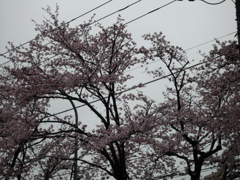 20170409-4-桜4