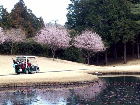 170323久邇カントリークラブ・河津桜-1