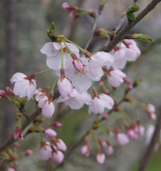 170409千本桜-2