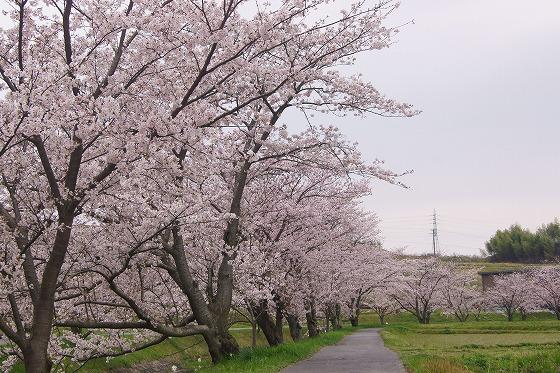 170409千本桜-5