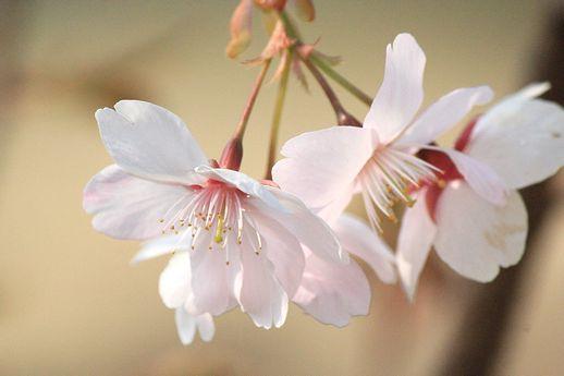 IMG_0094花笠桜