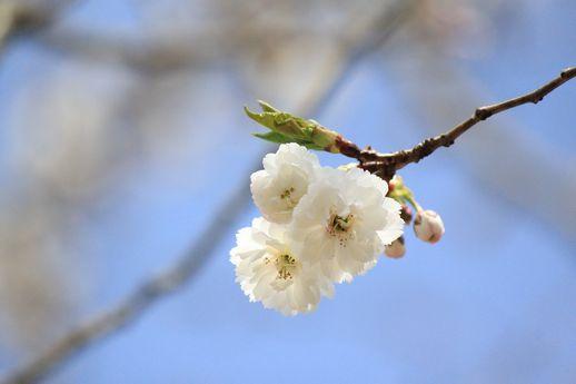 IMG_0062子福桜