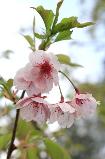 IMG_0147大漁桜