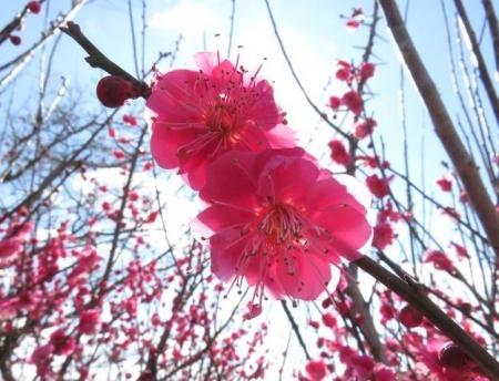 木佐木の紅梅 035