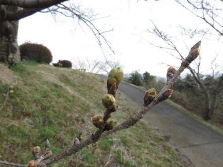清水の桜 034