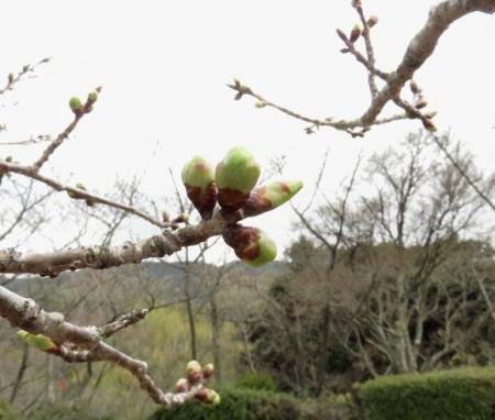 25日清水の桜 029
