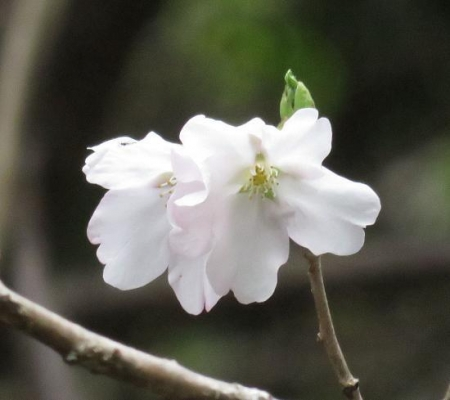 25日清水の桜 040