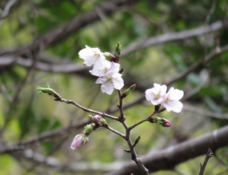 25日清水の桜 041
