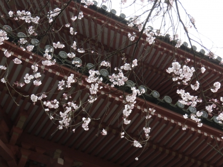 25日清水の桜 054