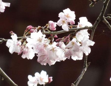 25日清水の桜 051