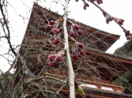 25日清水の桜 063