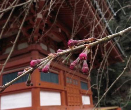 25日清水の桜 056
