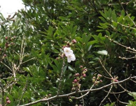 26日女山桜開花 059