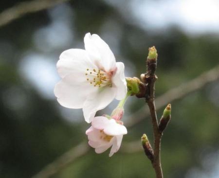 26日女山桜開花 063