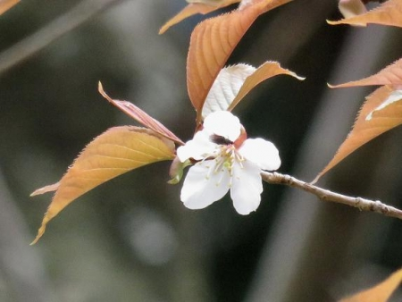 26日女山桜開花 003