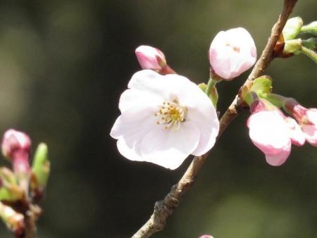 28日大川ヒヨと清水桜 118