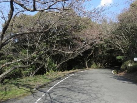 28日大川ヒヨと清水桜 122