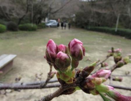 26日女山桜開花 088