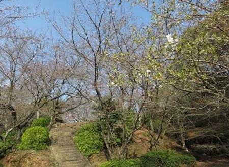 28日大川ヒヨと清水桜 162