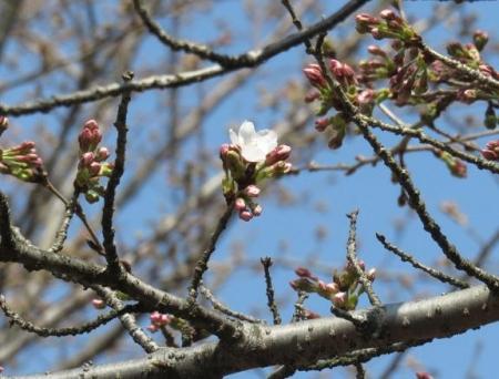 28日大川ヒヨと清水桜 112