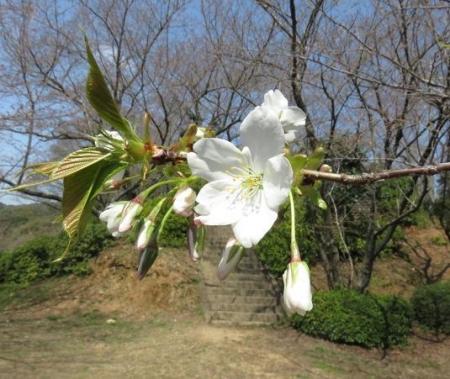 28日大川ヒヨと清水桜 100