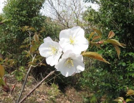桜30日清水山 003