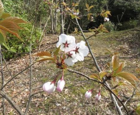 桜30日清水山 004