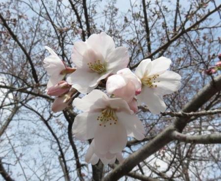 桜30日清水山 048
