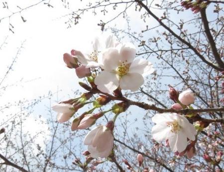 桜30日清水山 042