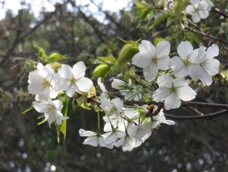 桜30日清水山 029