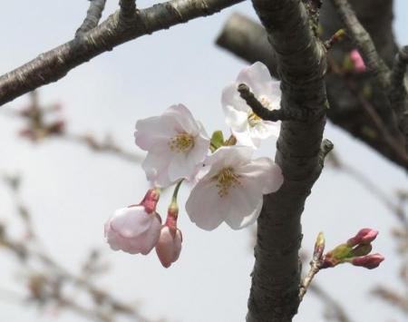 桜30日清水山 013