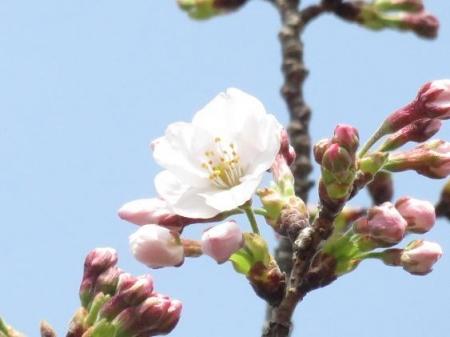 桜30日清水山 014