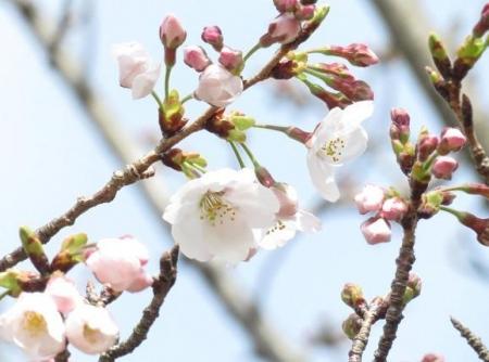 桜30日清水山 012