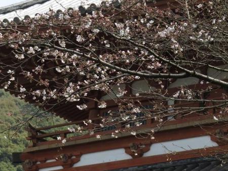 桜30日清水山 057