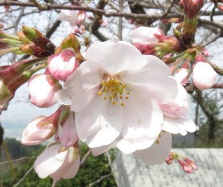 桜30日清水山 037