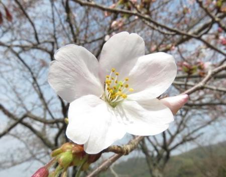 桜30日清水山 046