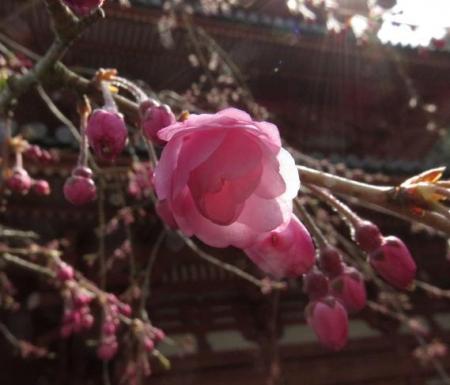桜30日清水山 066