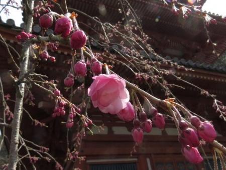 桜30日清水山 080