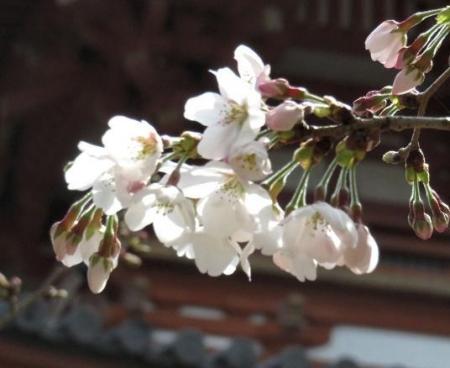 桜30日清水山 065