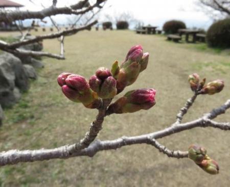 桜30日清水山 097