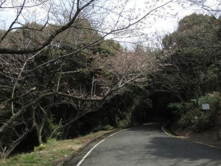 桜30日清水山 085
