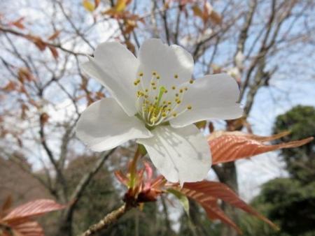 桜30日清水山 129
