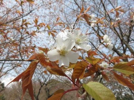 桜30日清水山 124