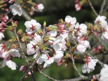 桜30日清水山 136