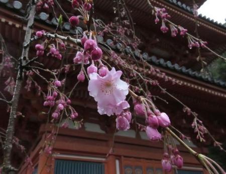 31日雨と桜清水 017
