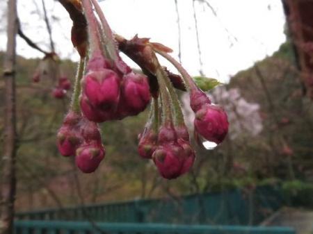 31日雨と桜清水 022