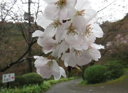 31日雨と桜清水 007